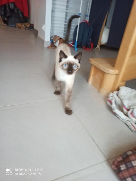 RIWEL, chaton européen seal point, né le 01/09/20 Img_2324