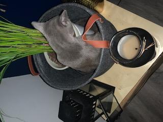 RAMSA, chatonne gris tigrée, née le 07.05/20 Img_3711