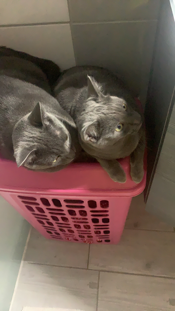 RAMSA, chatonne gris tigrée, née le 07.05/20 Img_4210