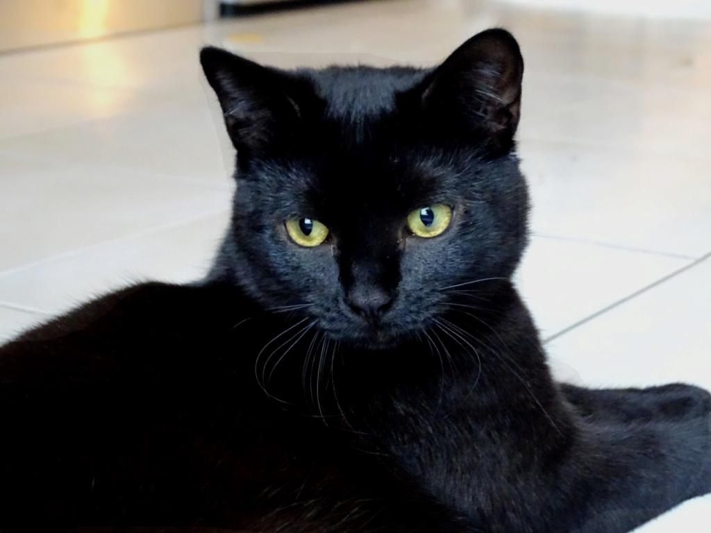 nepal - NEPAL, chaton noir, né le 06/05/2017 Night_10
