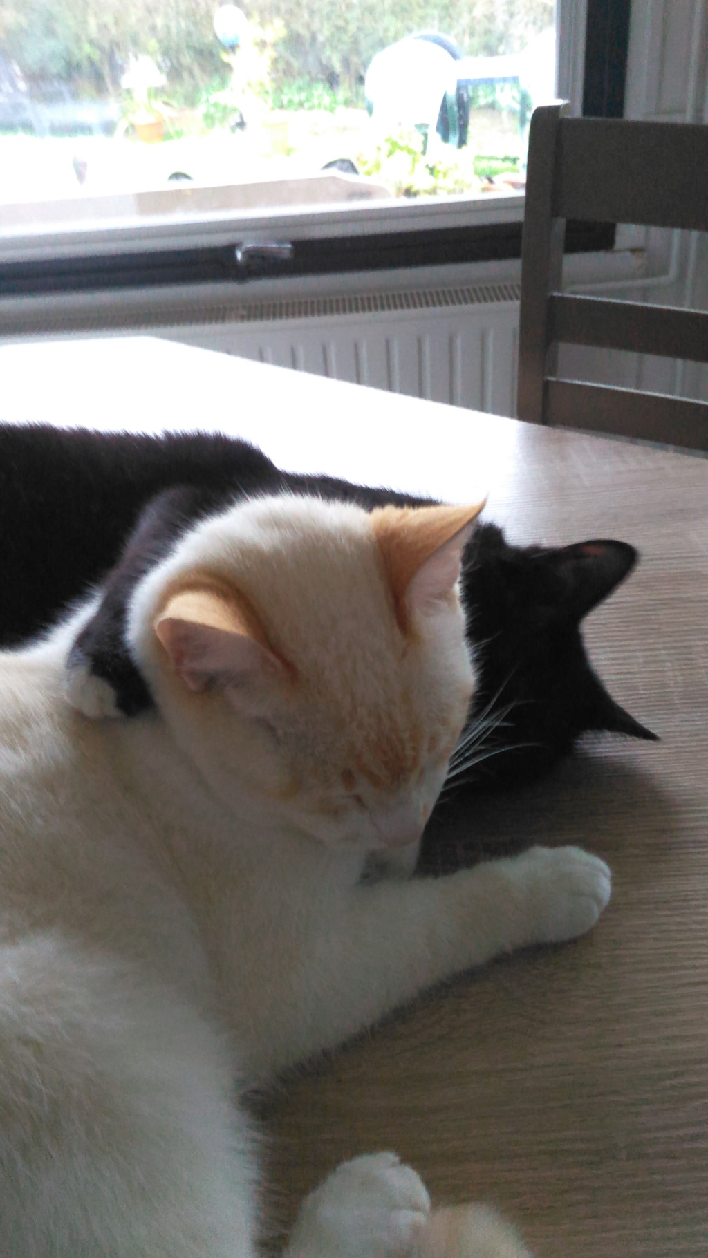 Nutella, chatonne noire type européen née le 1er mai 2017 Totoet18
