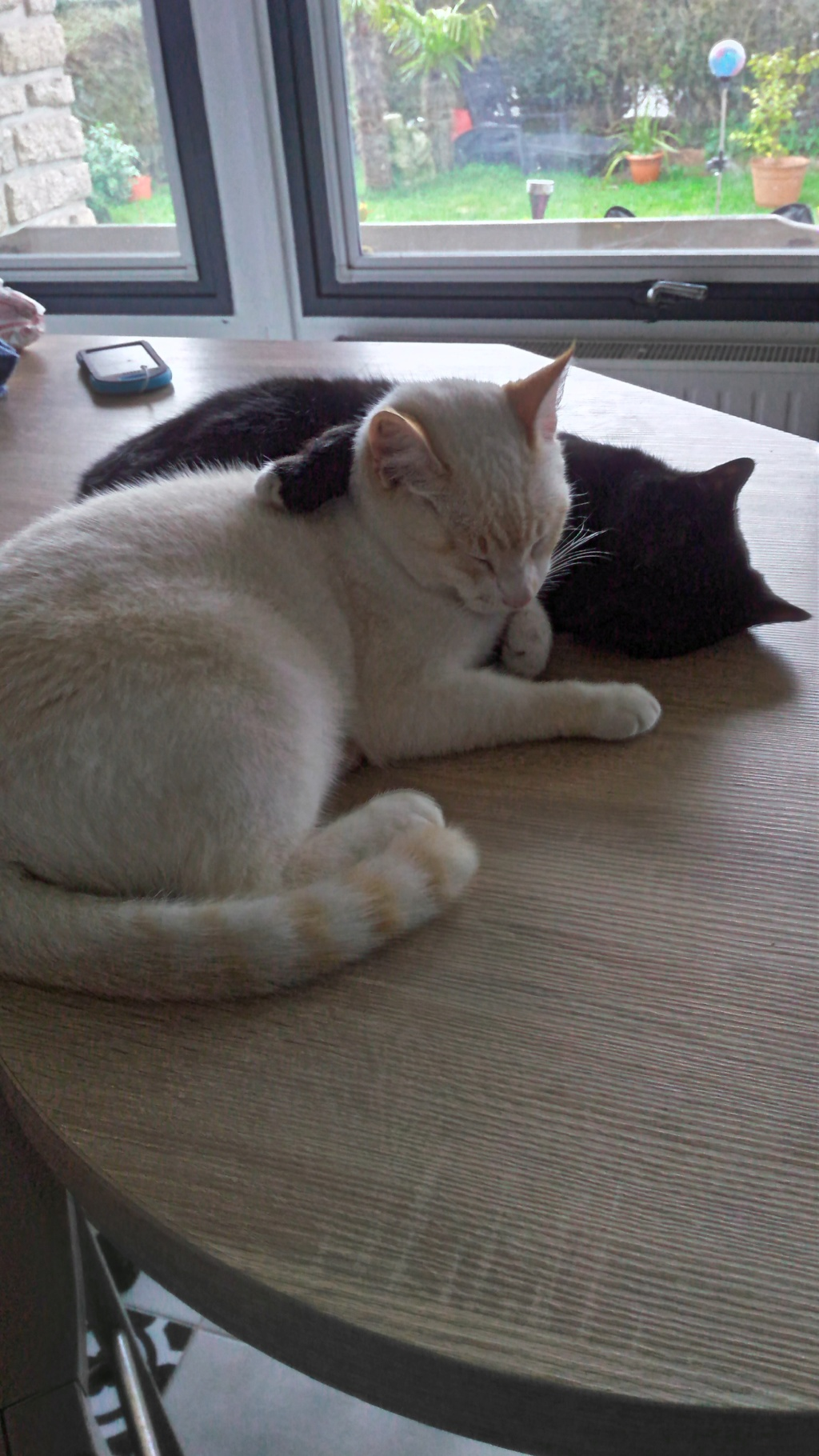 Nutella, chatonne noire type européen née le 1er mai 2017 Totoet23