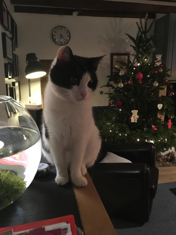 NELSIE, chatonne noire et blanche, née début Octobre 2017 Unname29