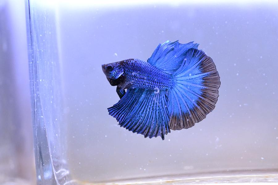 VLHM Bleu roi * bleu roi du 17/10/2018 Dsc_0210