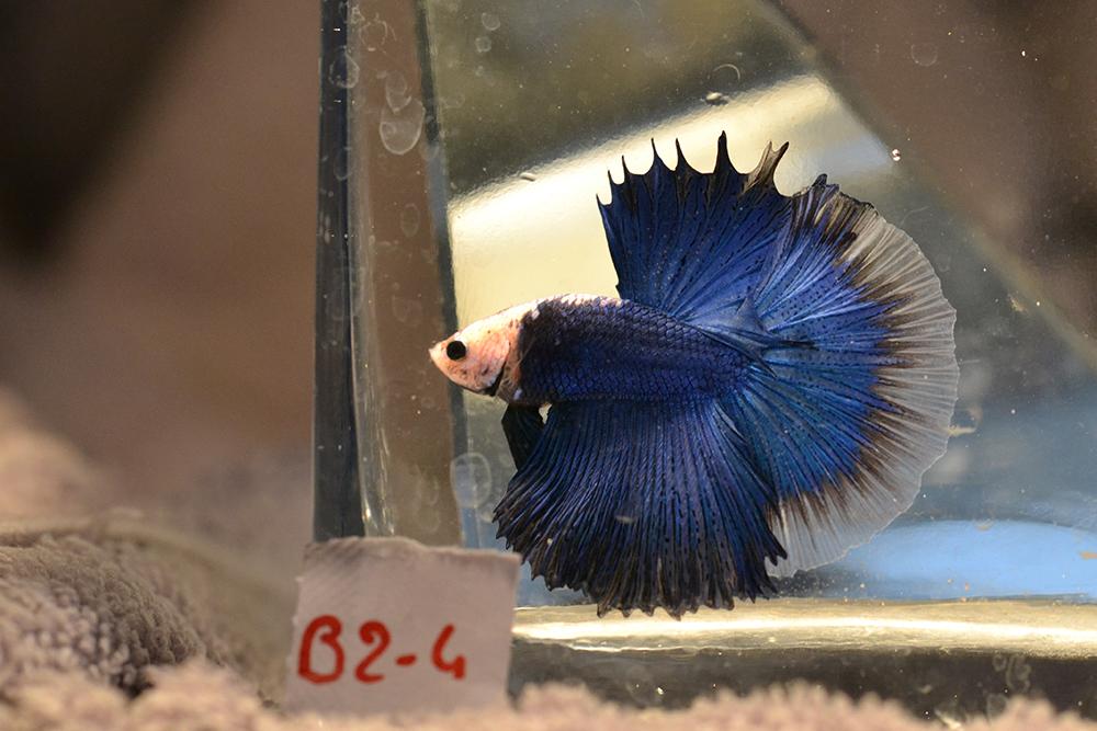 VLHM Bleu roi * bleu roi du 17/10/2018 Dsc_0318