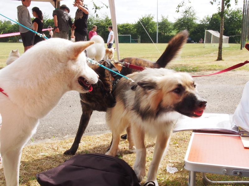 Le chien de berger islandais 2010