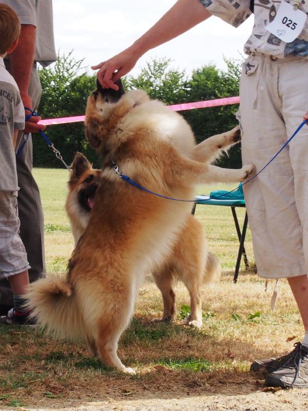 Le chien de berger islandais 2310