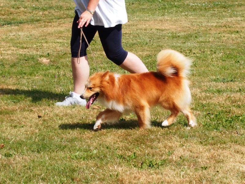 Le chien de berger islandais 2510