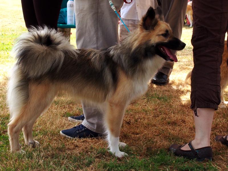 Le chien de berger islandais 2610