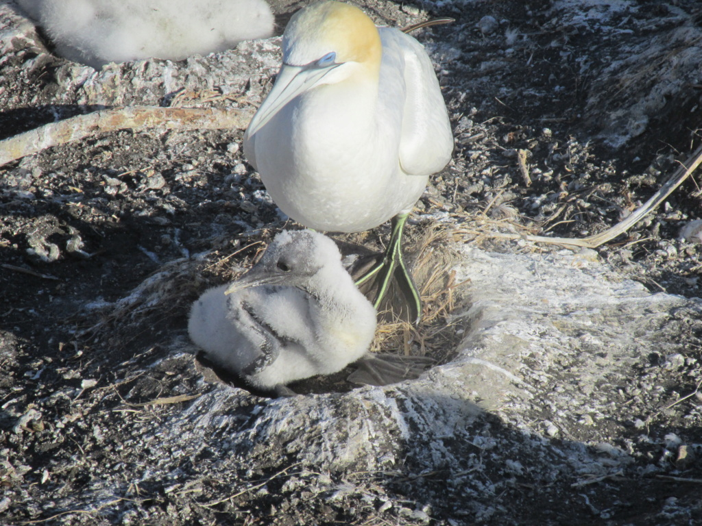 Gannets at Muriwai NZ Img_5412
