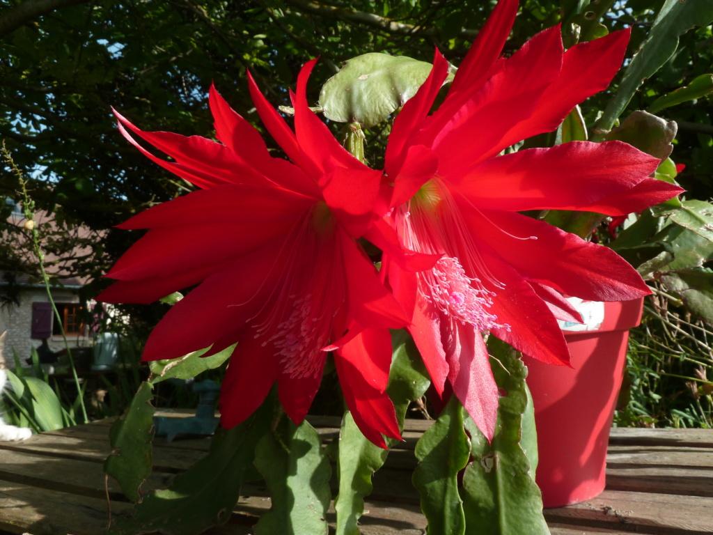 Epiphyllum - floraisons - Page 7 01806212