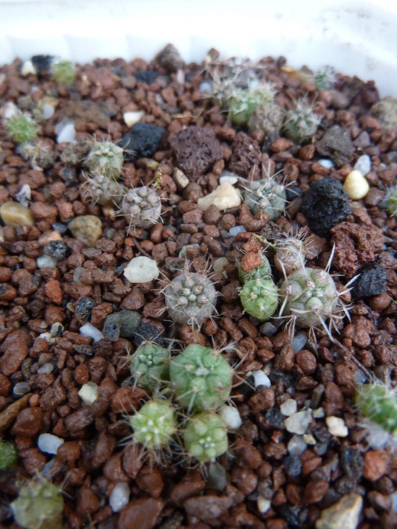 semis de Cactées : Trichocereus et autres - Page 3 20180713