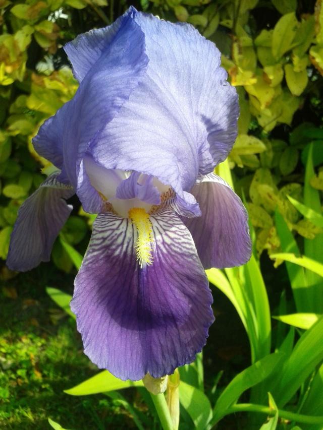 Iris 'Autumn King' ? - Flora [identification en cours] 20190513