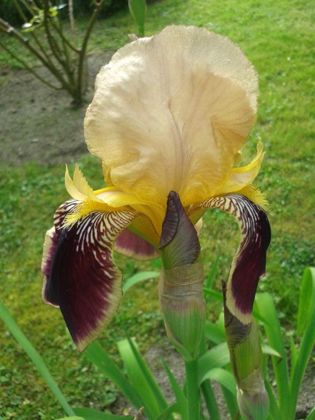 Iris variegata beige et violet - Flora [identification en cours] - Page 2 20190528