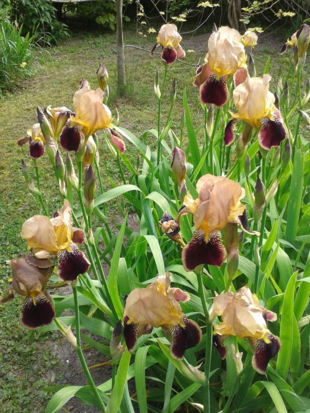 Iris variegata beige et violet - Flora [identification en cours] - Page 2 20190529