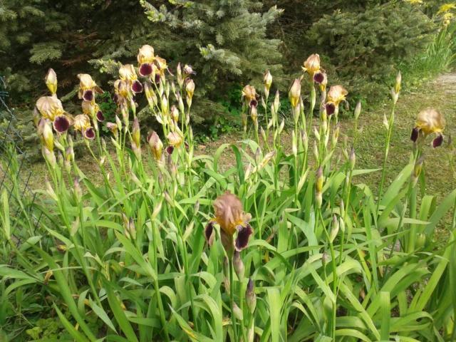 Iris variegata beige et violet - Flora [identification en cours] - Page 2 20190530
