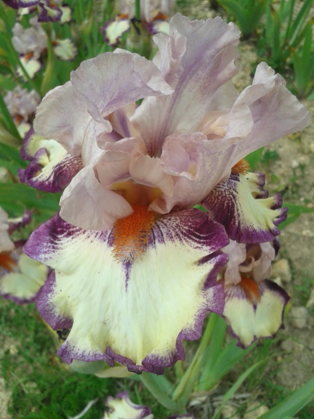 Iris 'Clownerie' - Richard Cayeux 2007 20190565
