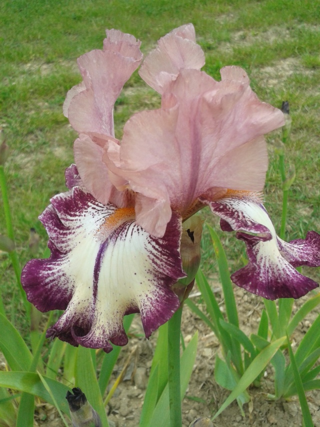Iris 'Clownerie' - Richard Cayeux 2007 20190568