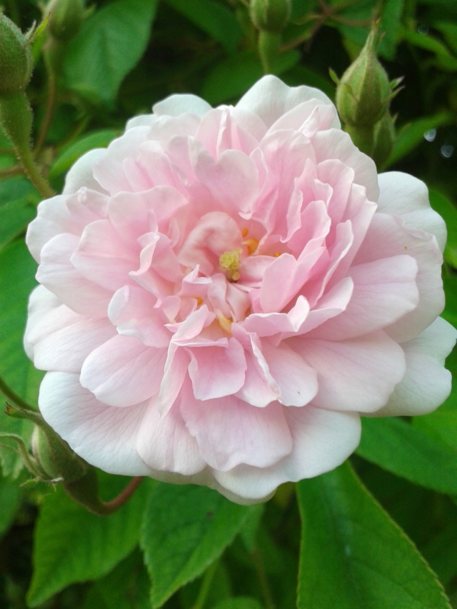 rosier 'Paul's Himalayan Musk' - Page 2 20190590