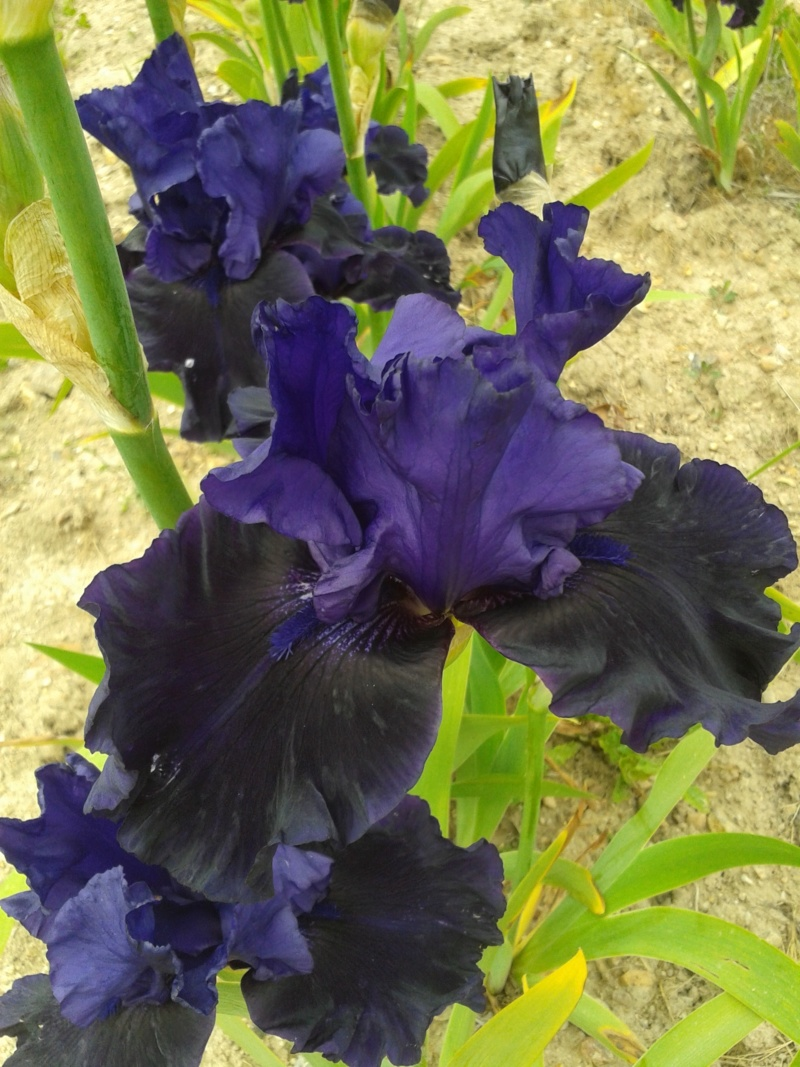 Iris 'Midnight Majesty' - Schreiner 2001 20190592