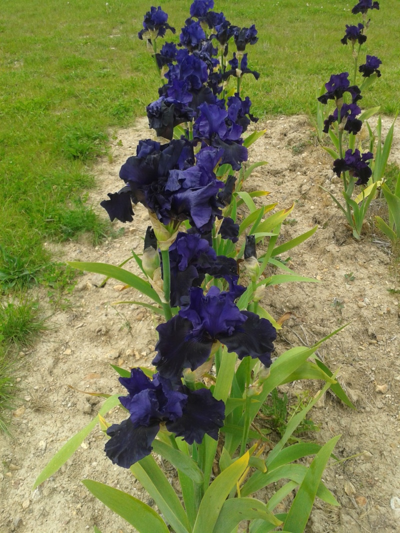 Iris 'Midnight Majesty' - Schreiner 2001 20190593