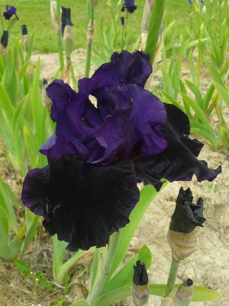 Iris 'Midnight Majesty' - Schreiner 2001 20190595