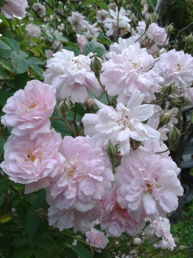 rosier 'Paul's Himalayan Musk' - Page 2 20190613