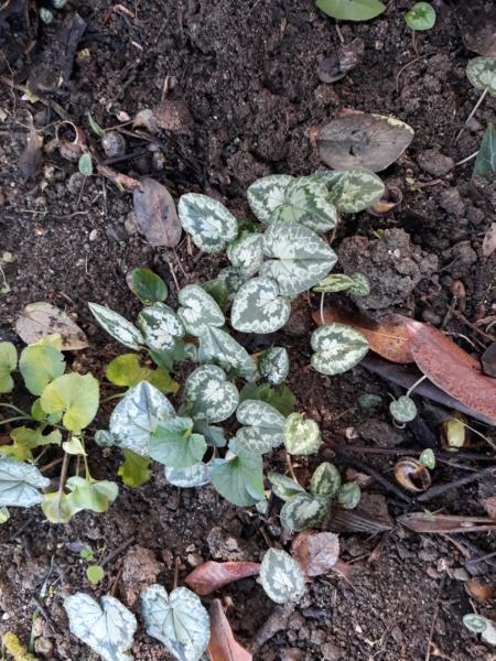 Cyclamen hederifolia = neopolitanum - cyclamen de Naples - Page 2 20191134