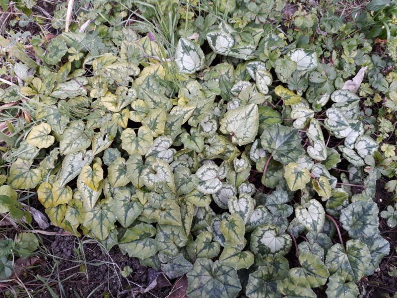 Cyclamen hederifolia = neopolitanum - cyclamen de Naples - Page 2 20200116