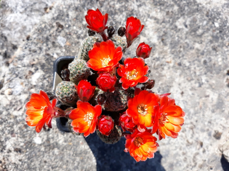 Cactus - floraisons 2020 20200398