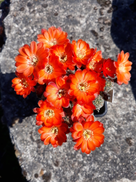 Cactus - floraisons 2020 20200505