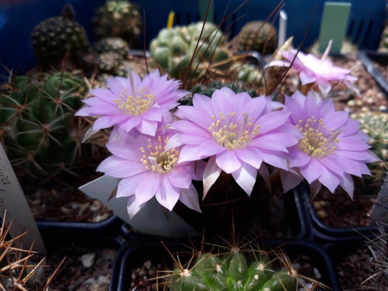 Cactus - floraisons 2020 20200508