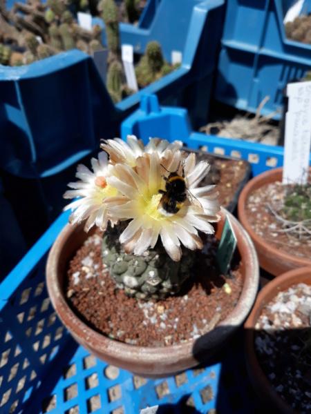 Cactus - floraisons 2020 20200509