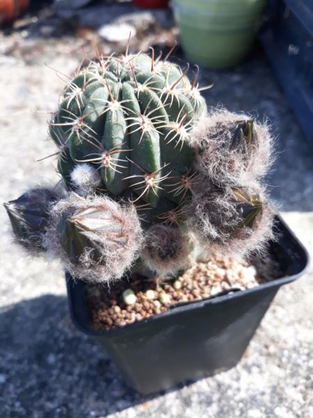 Cactus - floraisons 2020 20200630