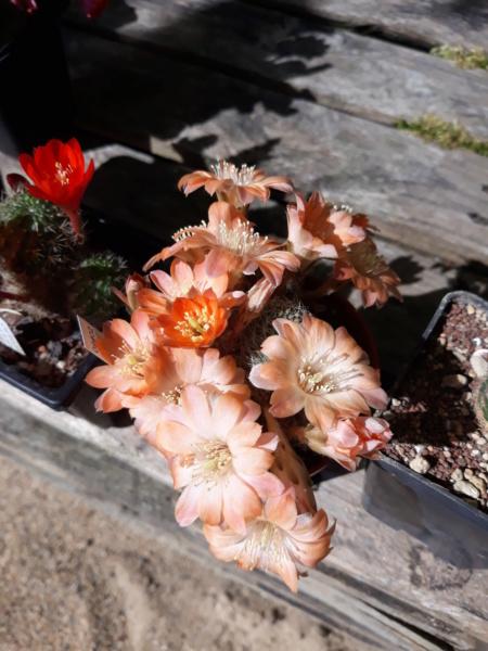 Cactus - floraisons 2020 20200633