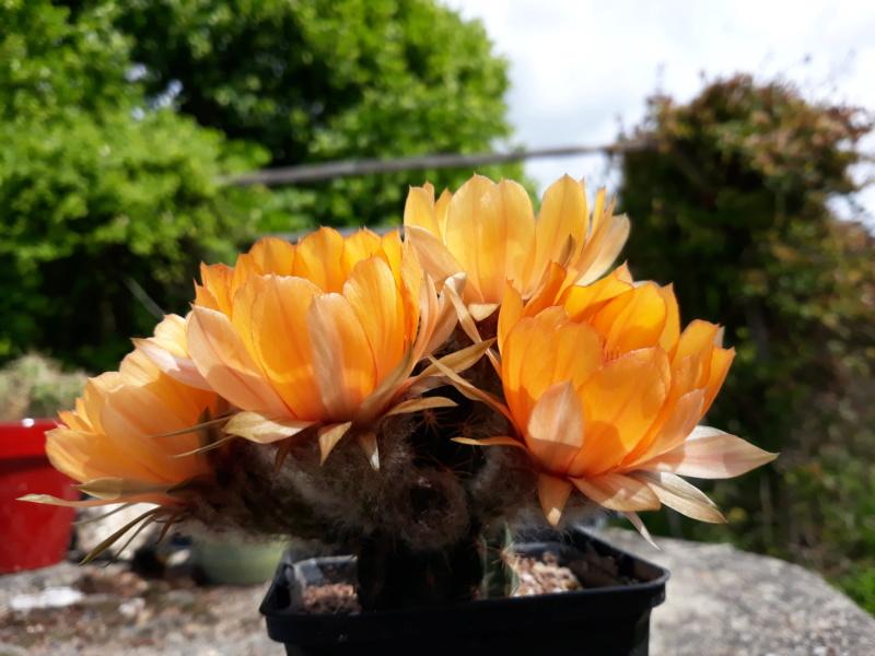 Cactus - floraisons 2020 20200670
