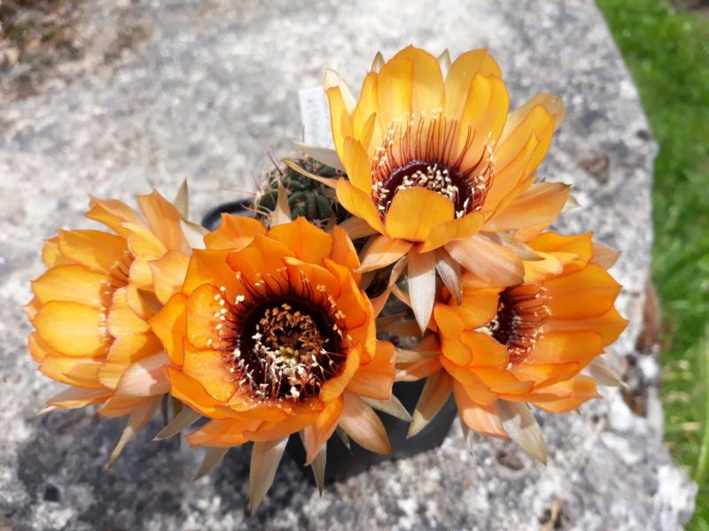 Cactus - floraisons 2020 20200672