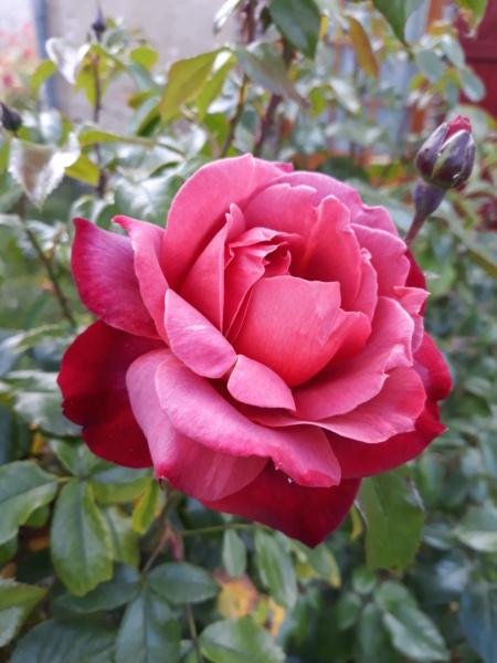 tous ces rosiers que l'on aime - floraisons - Page 6 20200673