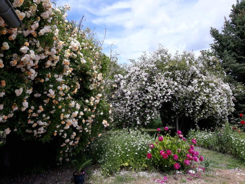 tous ces rosiers que l'on aime - floraisons - Page 6 20200675