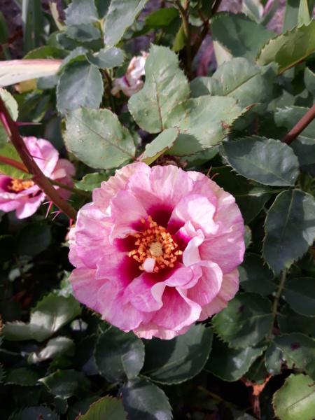 tous ces rosiers que l'on aime - floraisons - Page 6 20200679