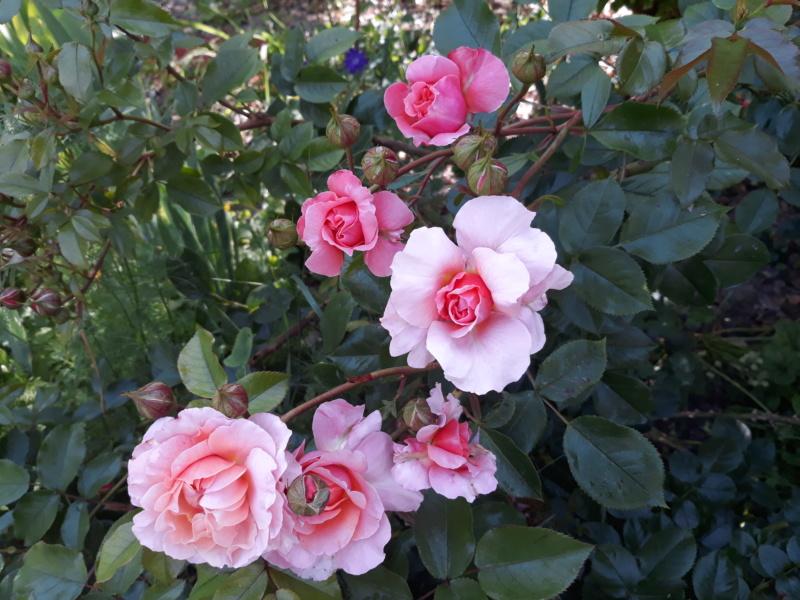 tous ces rosiers que l'on aime - floraisons - Page 6 20200700