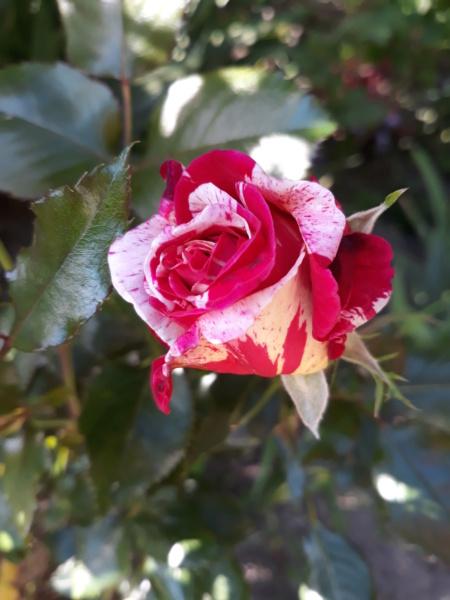 tous ces rosiers que l'on aime - floraisons - Page 6 20200709
