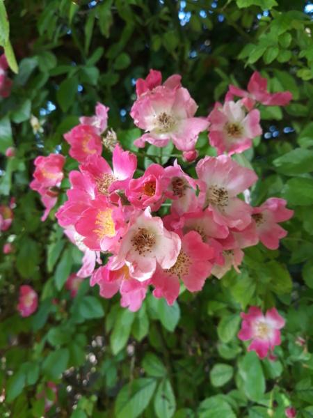 tous ces rosiers que l'on aime - floraisons - Page 6 20200710