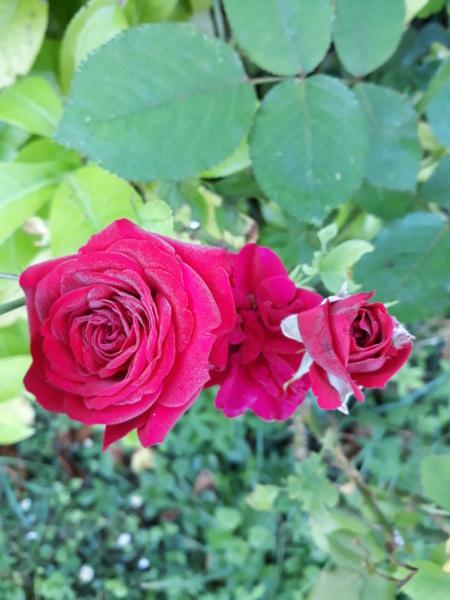 tous ces rosiers que l'on aime - floraisons - Page 7 20200711
