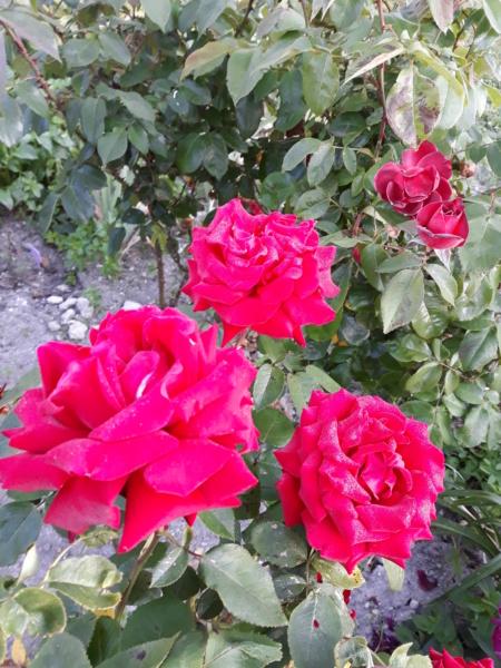 tous ces rosiers que l'on aime - floraisons - Page 7 20200712