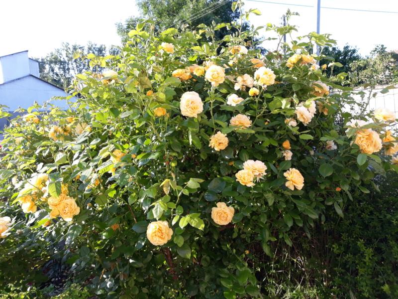 tous ces rosiers que l'on aime - floraisons - Page 7 20200715
