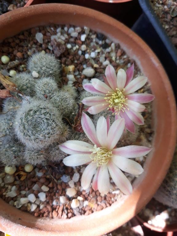 Cactus - floraisons 2020 - Page 3 20200883
