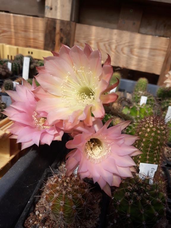 Cactus - floraisons 2020 - Page 3 20200886