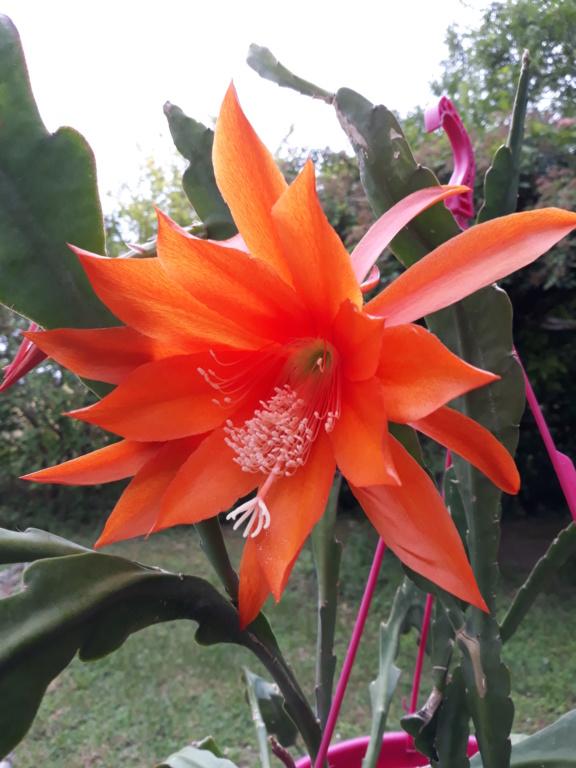 Cactus - floraisons 2020 - Page 3 20200889