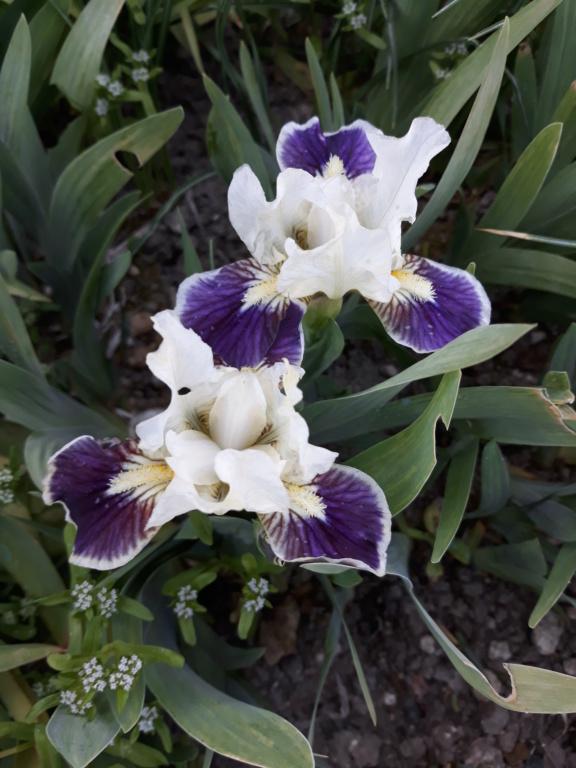 Floraison d'iris de 2017 ....... à 2021 - Page 20 20210451